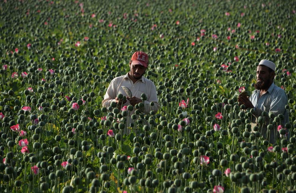 Safra de sementes de papoula no Afeganistão