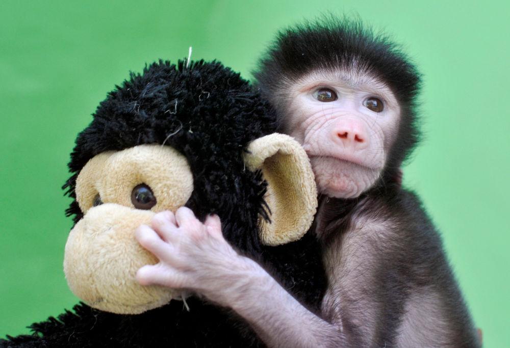 Um babuíno de 23 dias de idade brinca com um brinquedo de pelúcia no zoológico Sri Chamarajendra