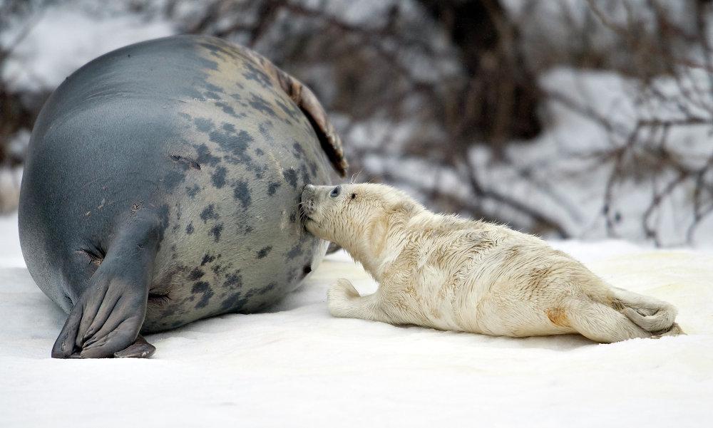 Um filhote de foca recém-nascido com sua mãe no oceannarium de Hirtshals, Dinamarca