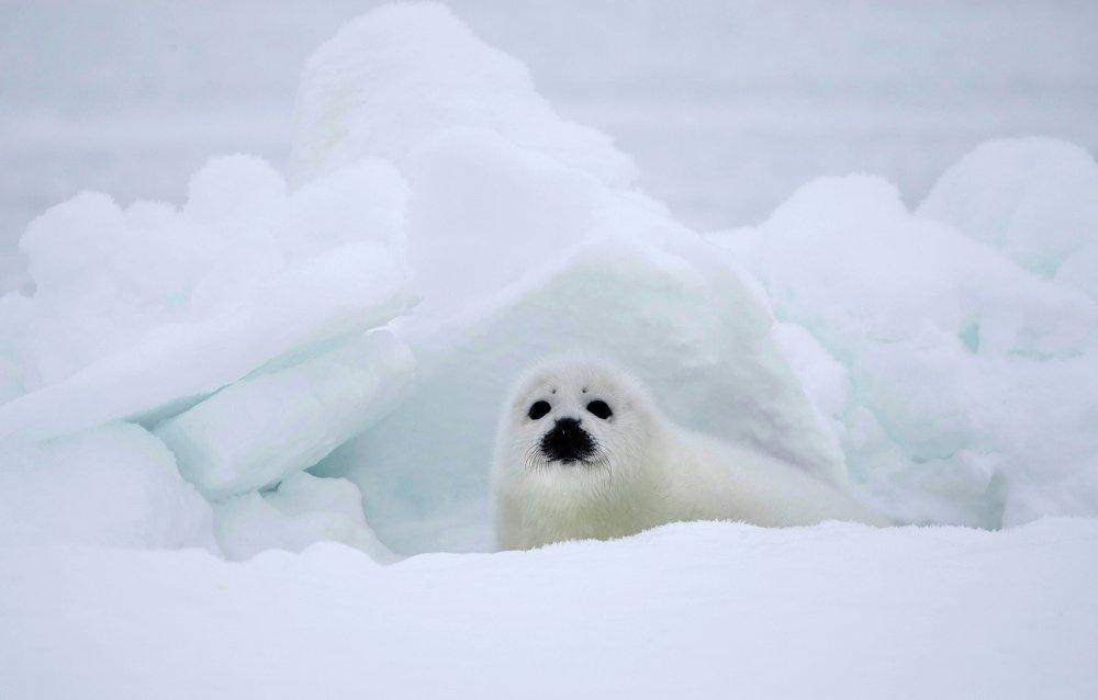 Um filhote de foca na costa do mar Branco