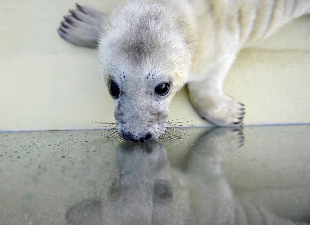 Um filhote de foca no viveiro na cidade de Friedrichskoog, Alemanha