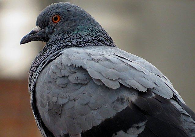 Um pombo