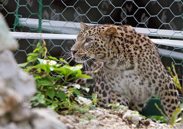 Fêmea de leopardo-da-Pérsia no zoológico de Sochi