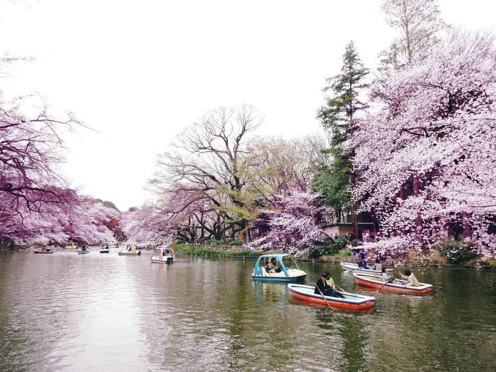 Sakura floresce no Japão