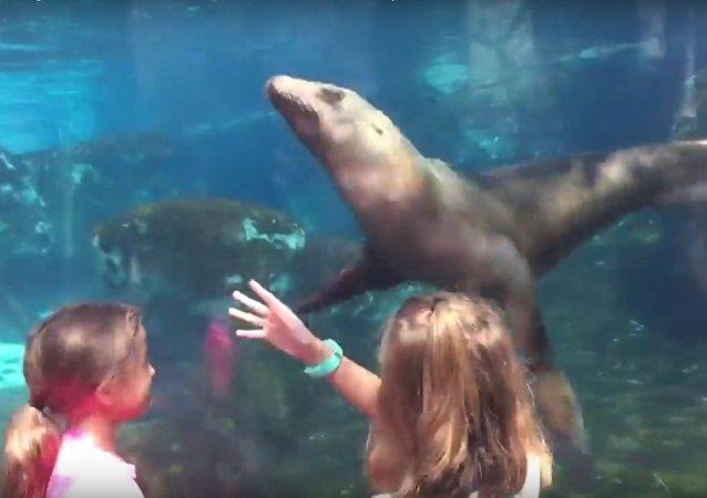 Uma menina controla os movimentos do leão-marinho em aquário do jardim zoológico
