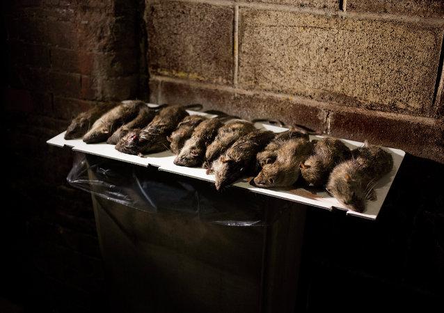 Anvisa tolera quantidades mínimas de pelos de rato e outras matérias estranhas em alimentos e bebidas