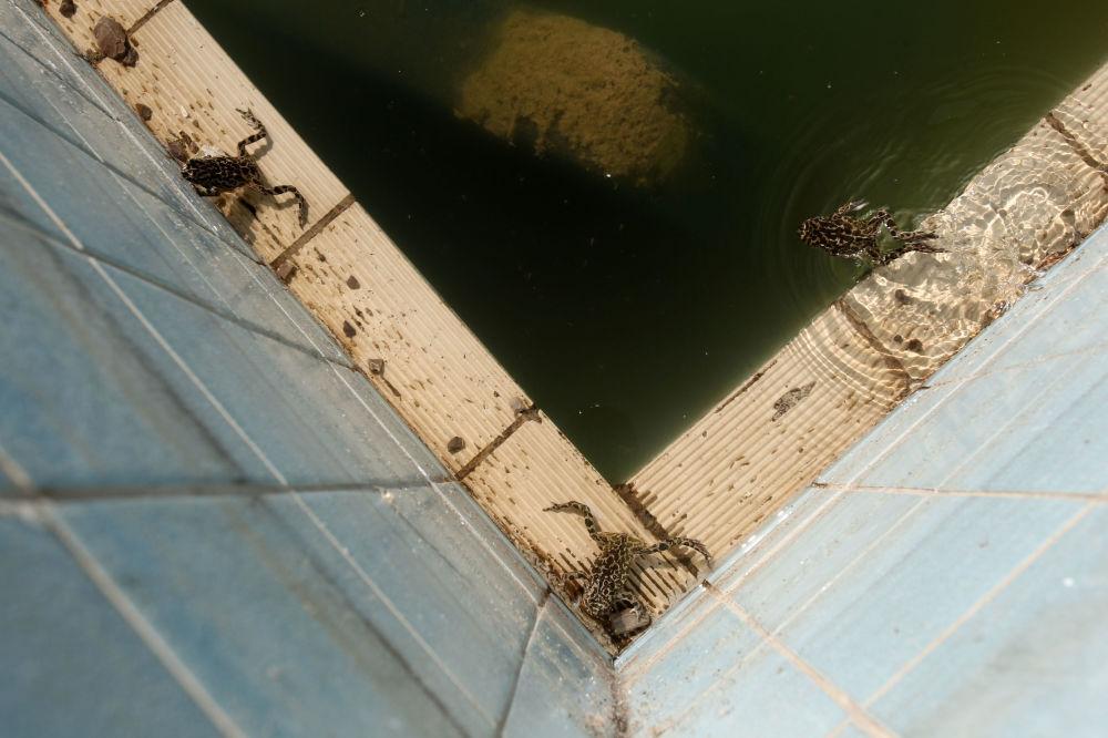 Pererecas na piscina abandonada da Aldeia Olímpica perto de Atenas