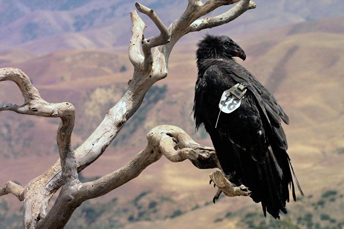 Um condor catalogado como N. 428 visto na Califórnia (foto de arquivo)