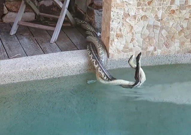 Briga encarniçada de pítons à beira da piscina