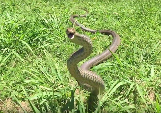 O ataque da cobra marrom