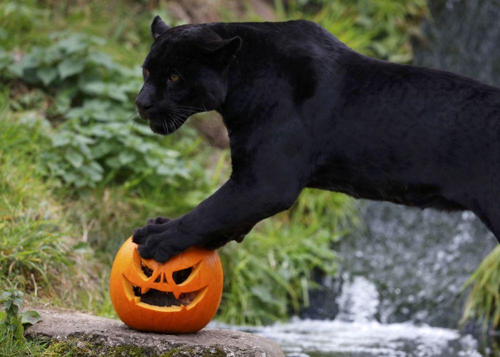 Jaguar preto Goshi do Jardim Zoológico de Chester, por ocasião do Halloween recebeu o seu almoço em uma abóbora