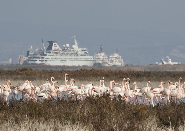 Flamingos se encontram na região da base aérea britânica de Akrotiri, Limassol, Chipre, janeiro de 2016