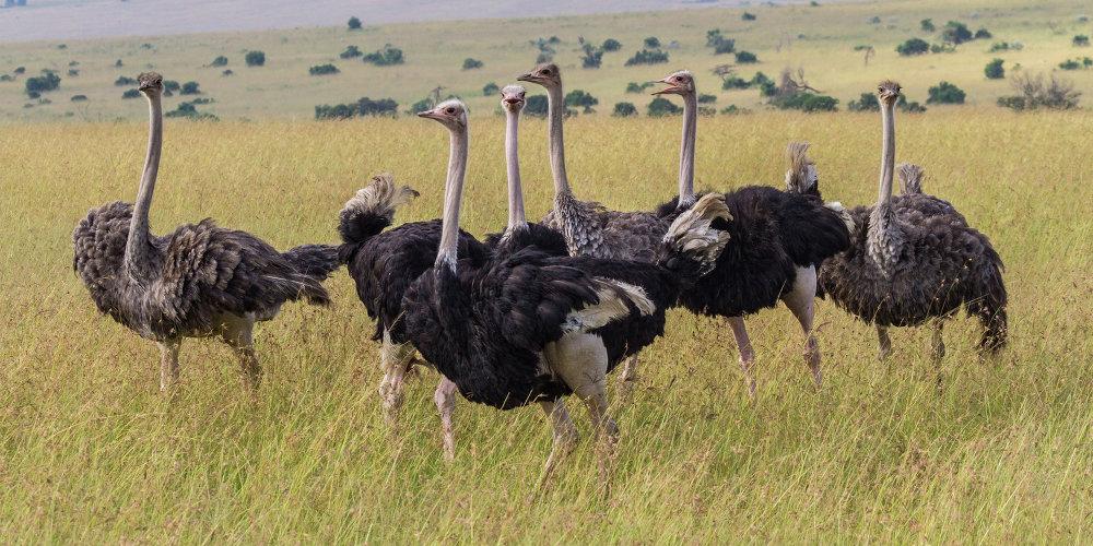 Aves que não conseguem  voar: a avestruz