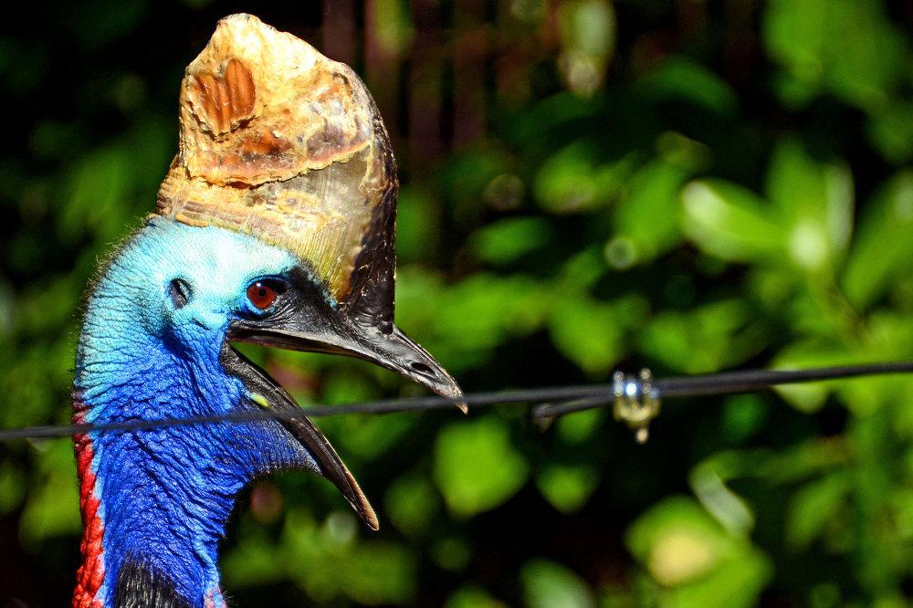 Aves que não conseguem voar: o casuar