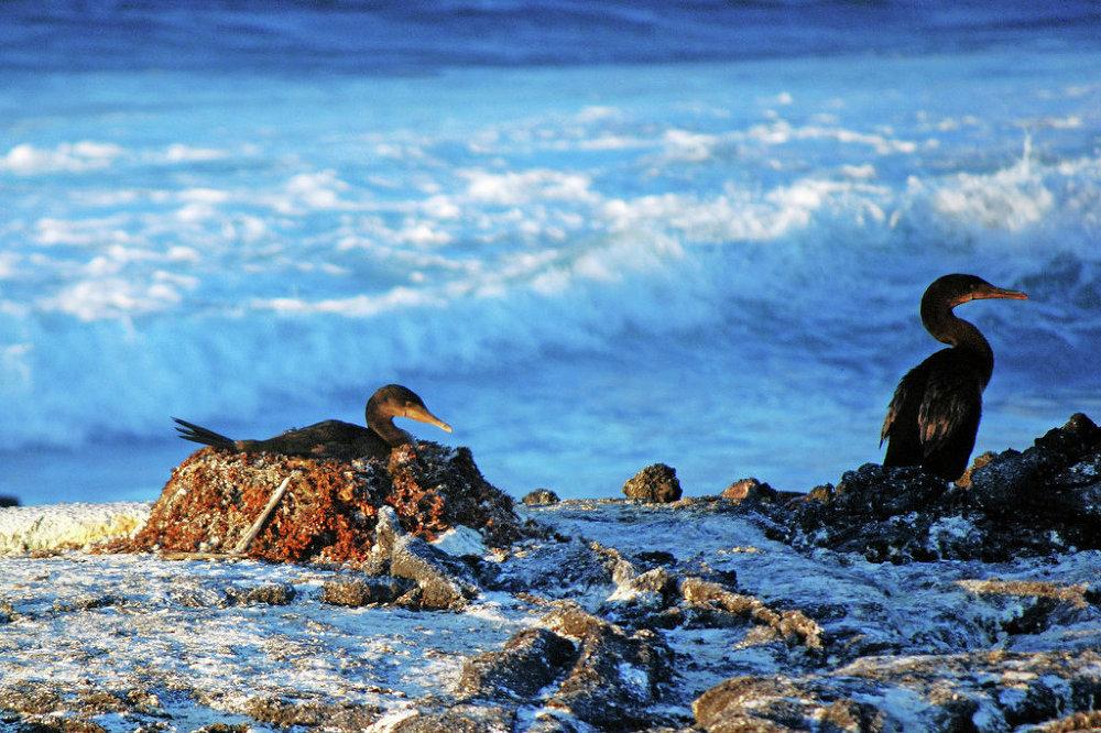 Aves que não conseguem voar: o cormorão-das-galápagos