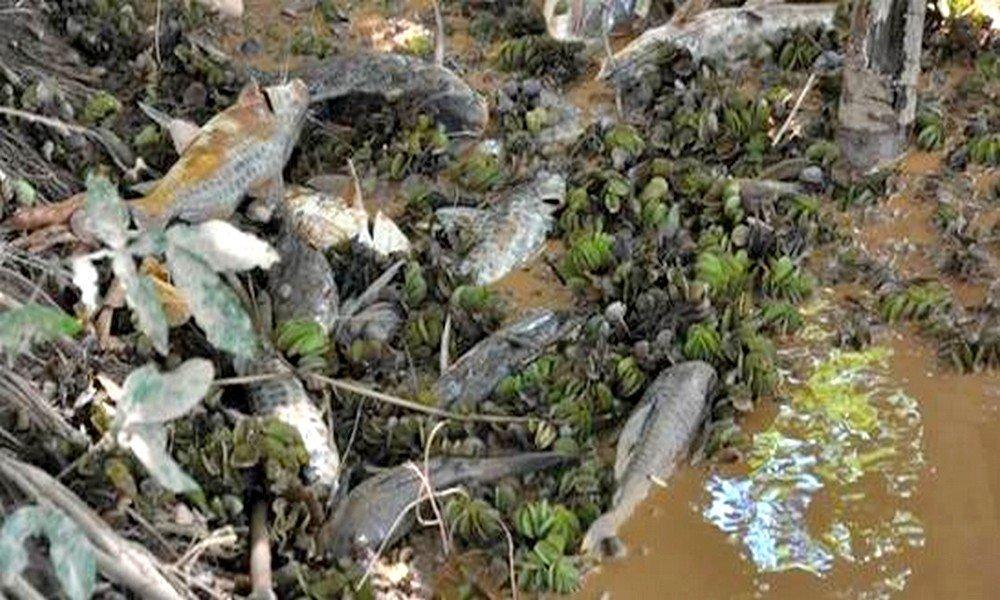 Peixes mortos no Rio Doce