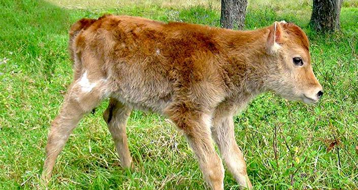 Vaca Alma C1, clonada em Peru