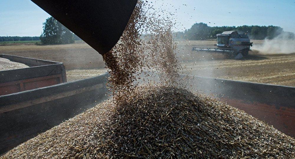 Colheita de trigo na região de Omsk
