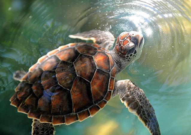 Tartaruga-de-pente (foto de arquivo)