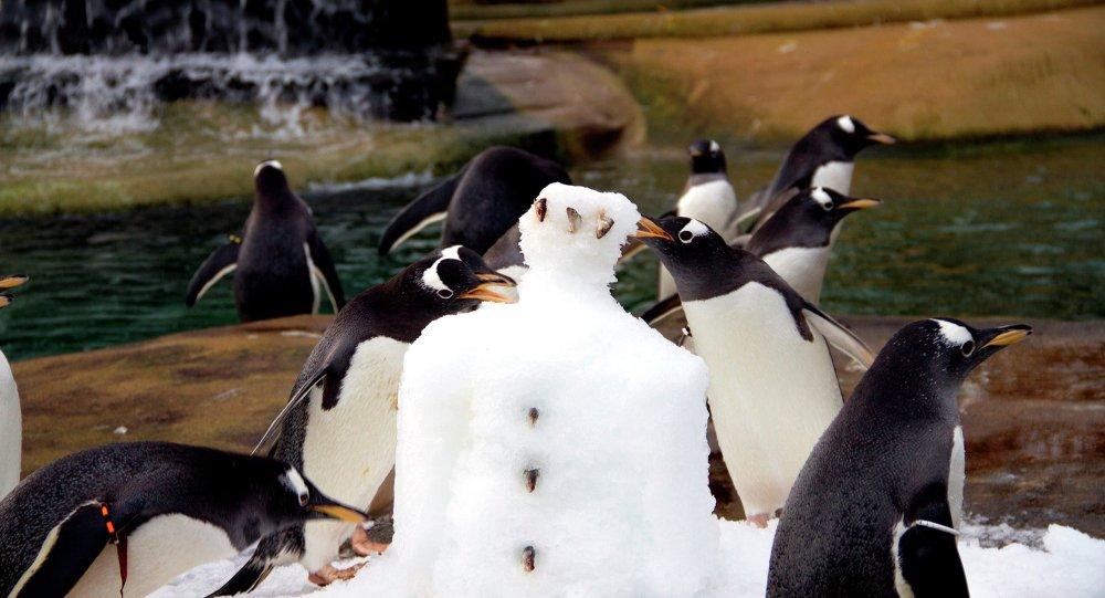 Colônia de pinguins do Zoológico de Edimburgo desfruta de iguaria de gelado