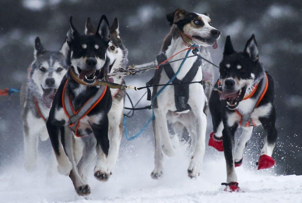 Corrida de trenós puxados por cães em uma das aldeias russas