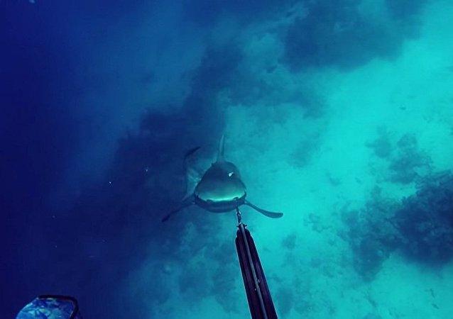 Mergulhador contra tubarão