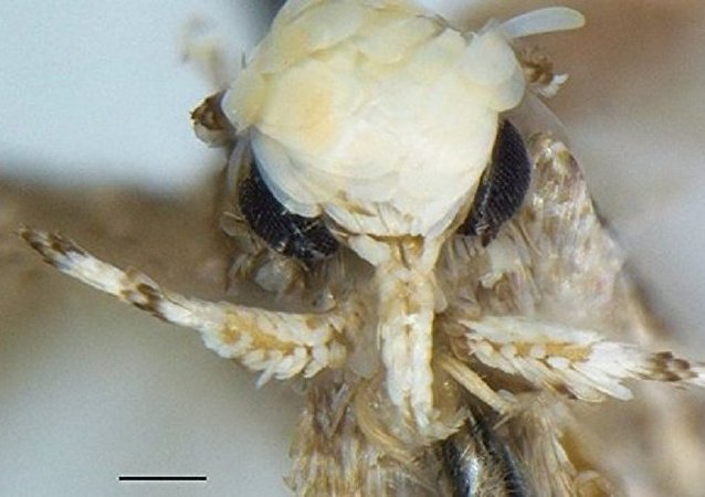 Borboleta Neopalpa donaldtrumpi