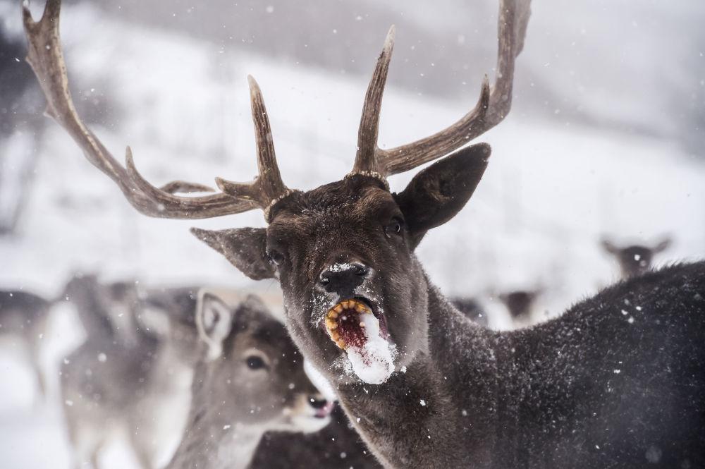 Veado come espiga de milho em floresta coberta de neve no Kosovo