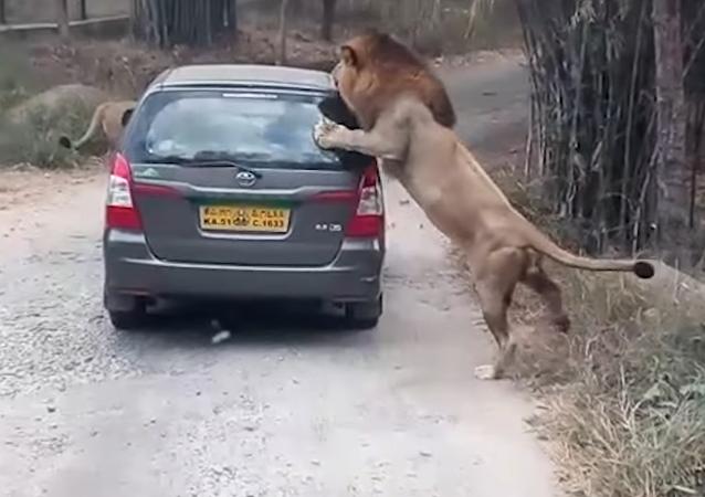 Leão tenta pedir carona