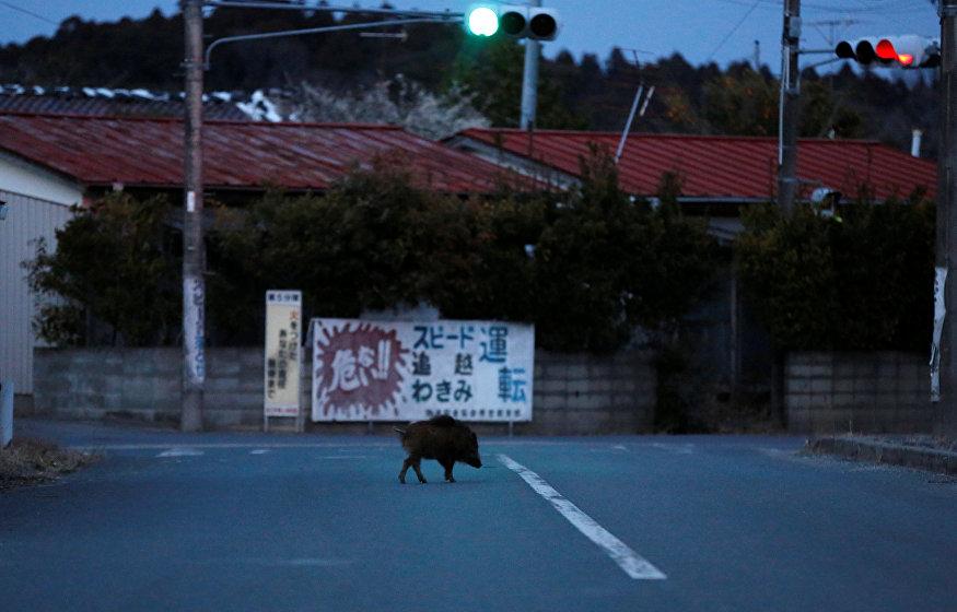 Um javali percorre uma rua na área residencial na cidade de Namie, na zona exclusiva da usina nuclear de Fukushima Daiichi