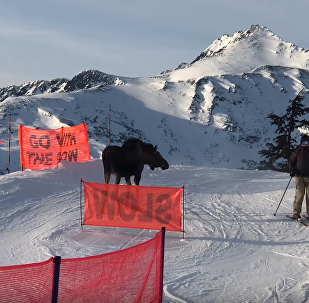 Rogue Moose Charges Alaska Chairlift Line