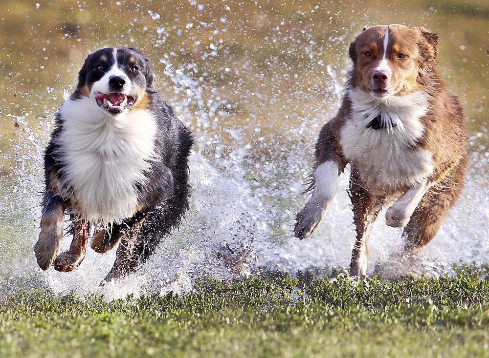 Cachorros da raça pastor australiano correm no prado dum parque de Frankfurt, Alemanha