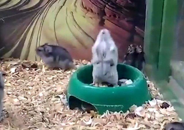 Hamster está quebrado