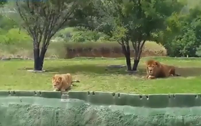Leoa caça turistas, mas... ataque falha