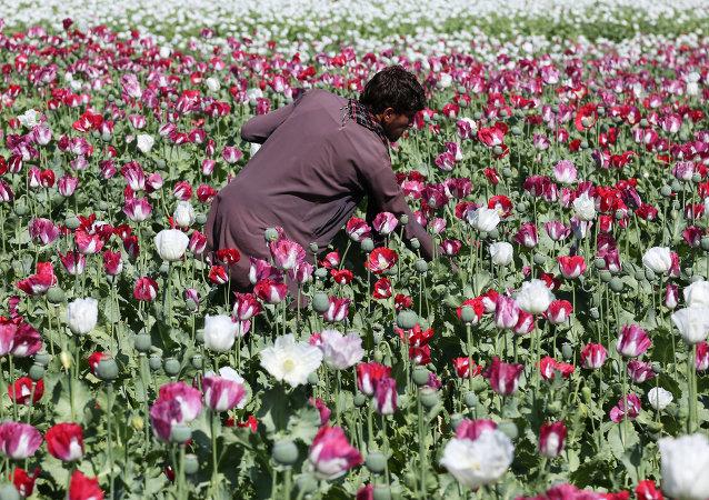 Plantação de papoulas no Afeganistão, matéria-prima utilizada na produção da heroína