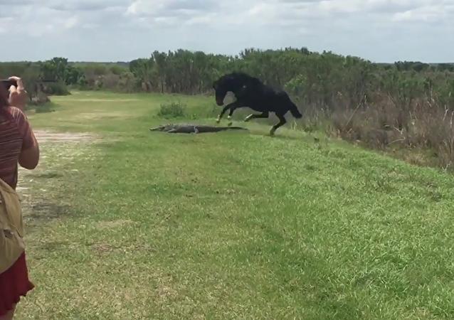 Tinha que ser na Flórida: cavalo pisa em aligátor