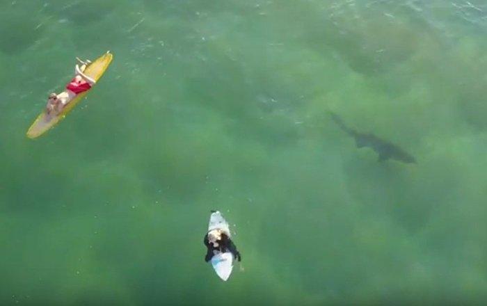 'Tubarão' na vida real! Peixe carnívoro nada perto de surfistas