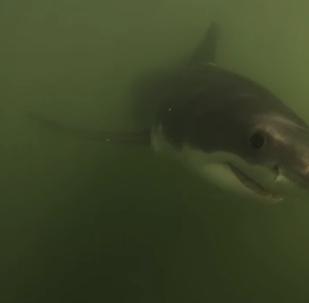 Barqueiros filmam encontro de perto com tubarões brancos