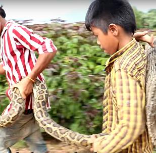 Crianças capturam serpente gigantesca