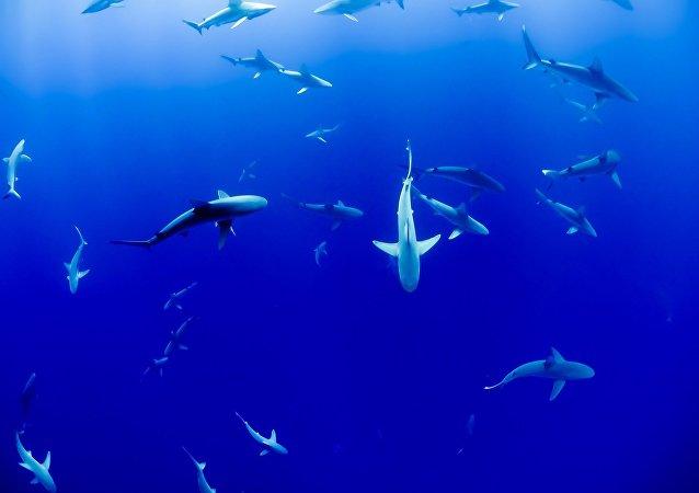 Tubarão (ilustração)