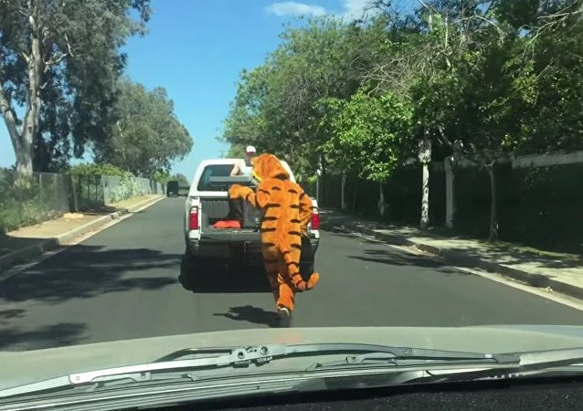 Tigre persegue caminhonete em que homem toca piano para ele