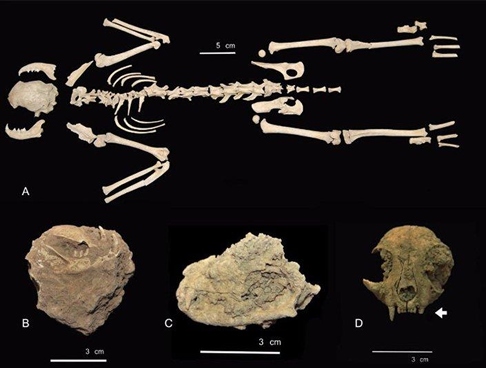 Ossos de um dos gatos encontrados numa cova na Espanha