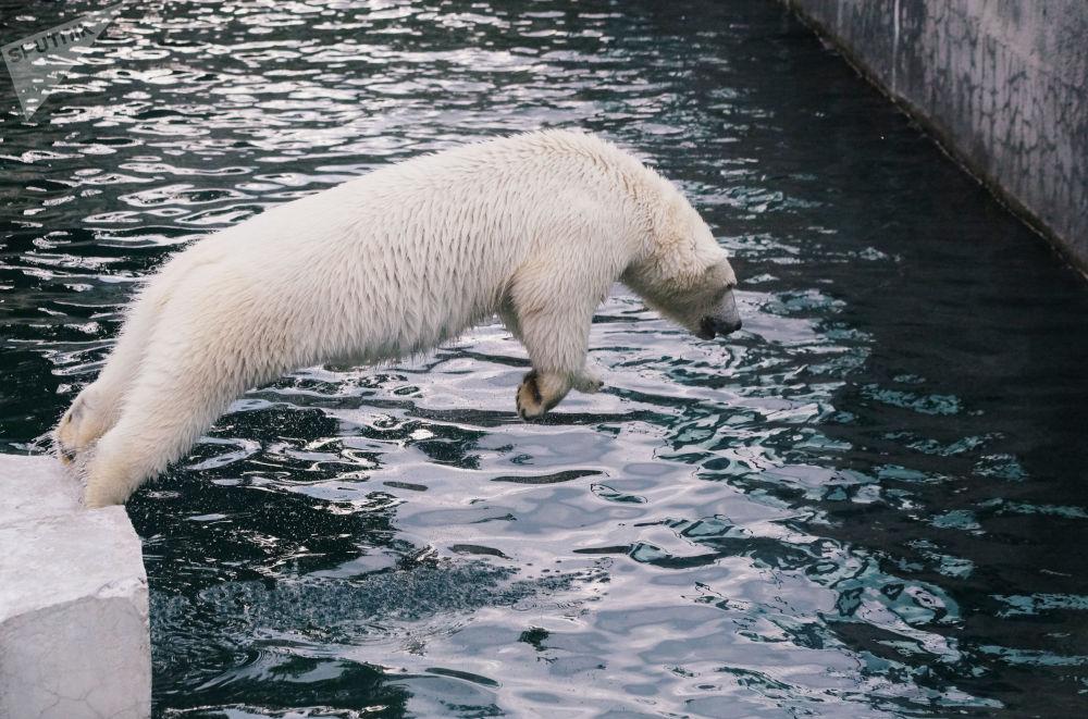 Urso branco toma banho no Jardim Zoológico de Moscou