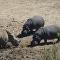 Hipopótamos matam rinoceronte durante luta por água