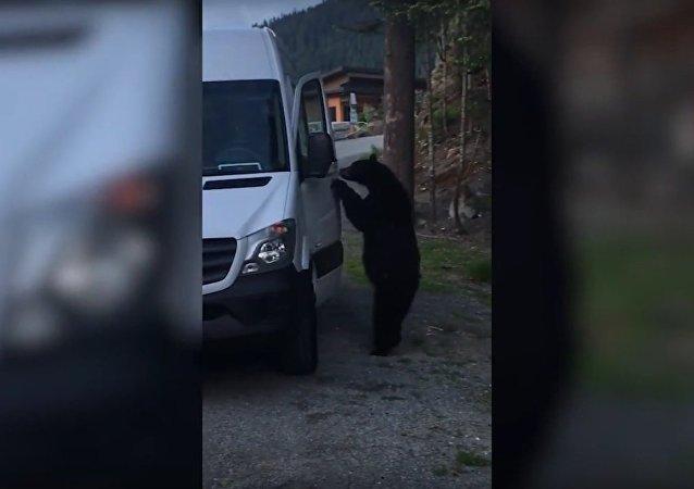 Uber para ursinhos? O animal só quer dar uma volta de carro