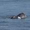 É hora do almoço! Baleias enormes devoram peixe