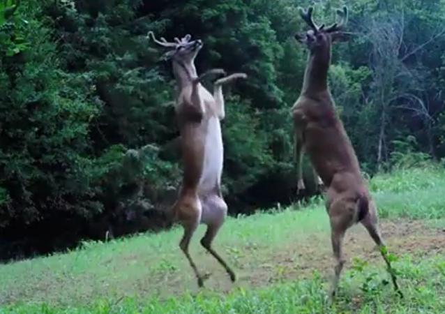 Um momento de batalha épica entre dois veados no Tennessee