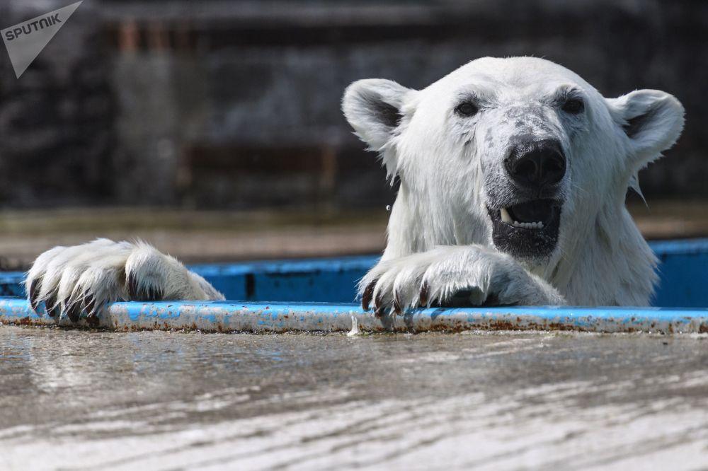 Um urso polar no Centro de Reprodução dos Animais em Extinção do Jardim Botânico de Moscou