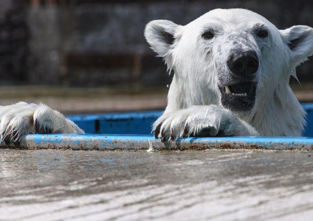 Um urso polar no Centro de Reprodução dos Animais em Extinção do Jardim Botânico de Moscou (arquivo)