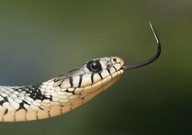 Uma serpente